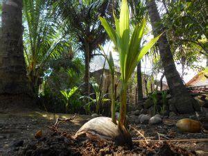 13 cara menanam pohon kelapa dan perawatannya ilmubudidaya com