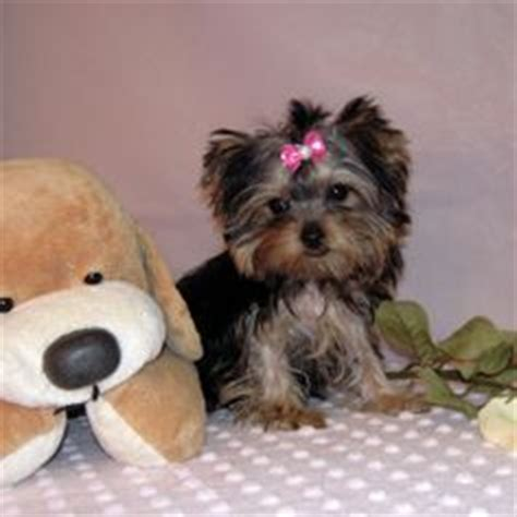 teacup yorkies for sell 1000 images about teapot yorkies i want one on teacup yorkie