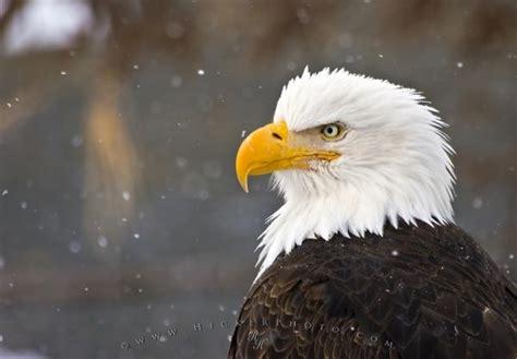 The Bald Eagle American Symbols symbols of peace photo information