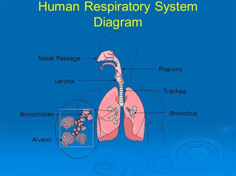 the human lungs diagram animal tissues and organ systems ppt