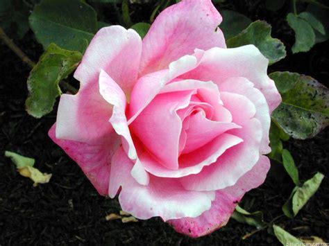 imagenes a flores fotos de flores rosas 2 pag 11 240 fotos de calidad