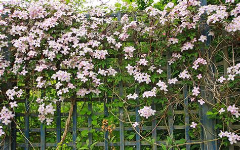 Evergreen Climbing Plants For Trellis how to plant and prune climbers for the best results