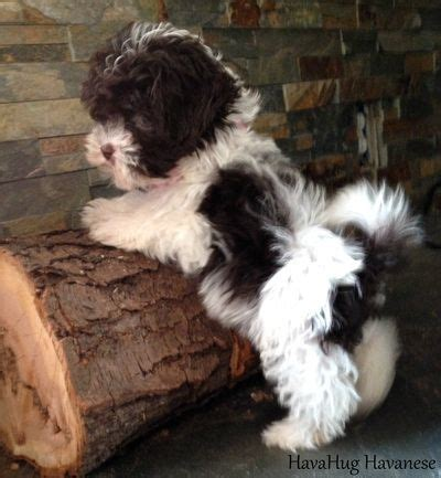 cuban havanese puppies best 25 havanese puppies ideas on breeds pictures havanese and