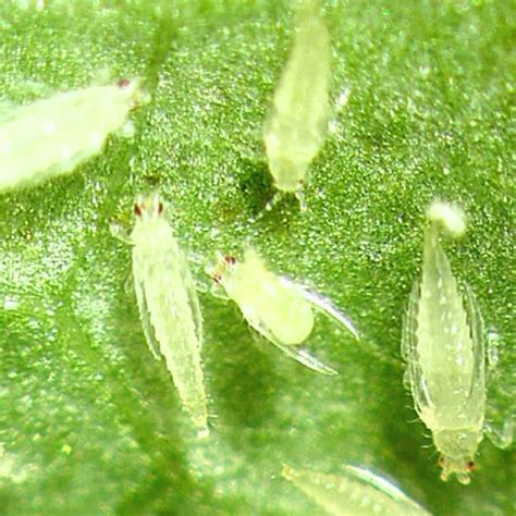 rid  thrips planet natural