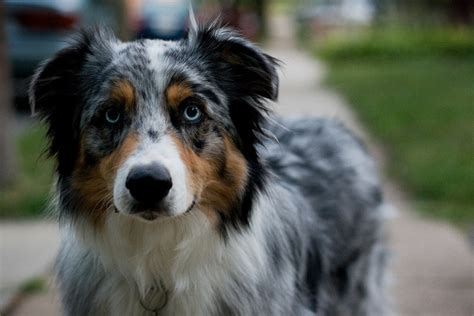 australian shepherd colors handsomedogs australian shepherd colors