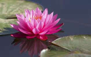 What Are Lotus Lotus Sacred Flower For Many Religions In Detail About It