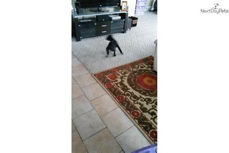neapolitan mastiff puppies for sale in ohio neapolitan mastiff puppies for sale in ohio images