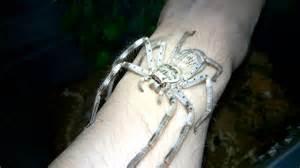 Giant huntsman spider weneedfun