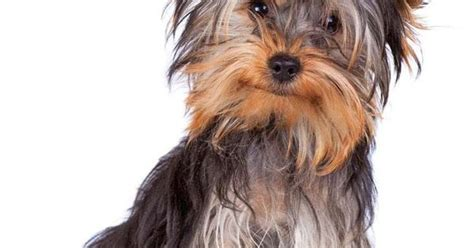 yorkie puppy names yorkie names terrier names yorkie puppy yorkies and