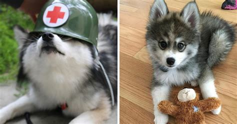 husky pomeranians meet norman a husky pomeranian puppy that s so it doesn t even look real