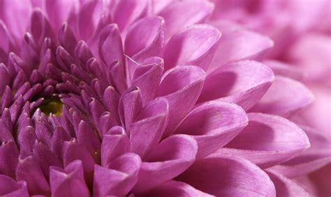 el crisantemo y la consejos pr 225 cticos para el cuidado de las flores en cuidadodeflores com