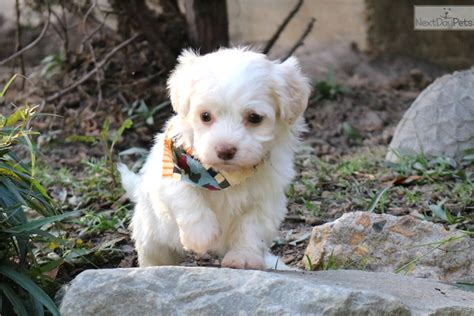 havanese dallas dallas havanese puppy for sale near louisiana b8511542 1961