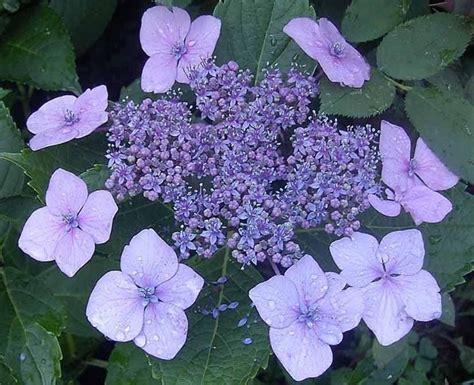 ortensie vaso ortensia hydrangea macrophylla piante da giardino
