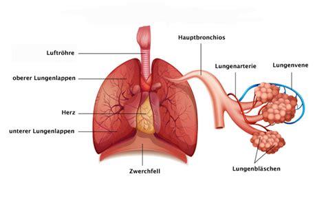 Beschriftung Lunge die lunge aufbau und funktion