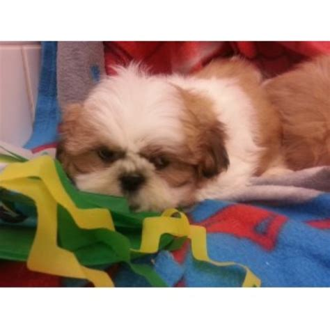 shih tzu for free uk shih tzu puppies and dogs for sale and adoption freedoglistings uk