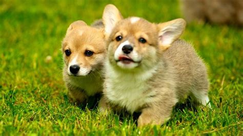 corgi price what is the average price for a corgi puppy reference