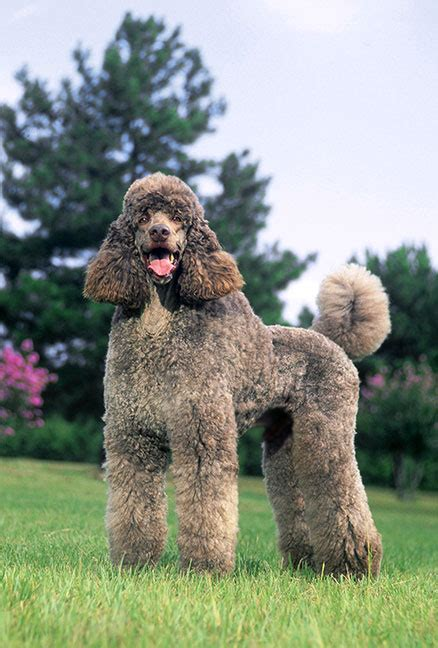 are poodles dogs poodle breed information pictures characteristics facts dogtime