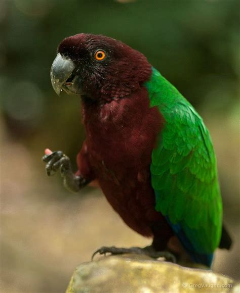 red breasted musk parrot parrot bird pics pinterest