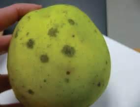 Tomato Plant Diseases Identification - sooty blotch ontario appleipm