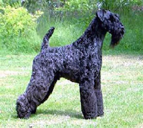 kerry blue terrier puppies kerry blue terrier breed puppies wheaten terrier kerry blue terrier ireland