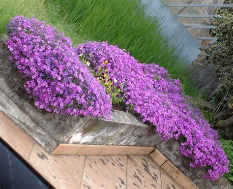 piante tappezzanti fiorite tappezzanti colorate