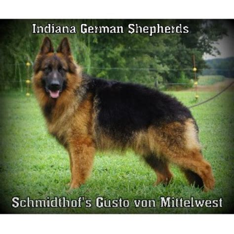 breeder indiana german shepherd gsd alsatian breeders in indiana