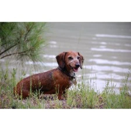 dachshund puppies florida always faithful kennel dachshund breeder in macclenny florida listing id 17670