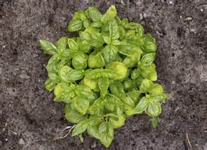 reasons for yellowish basil leaves what causes basil