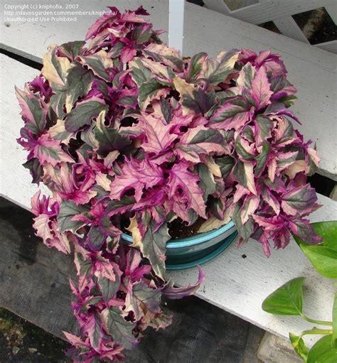 plantfiles pictures variegated purple velvet plant