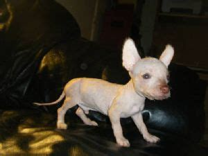 mexican hairless for sale xoloitzcuintli puppies for sale mexican hairless xoloitzcuintli puppys 7 weeks