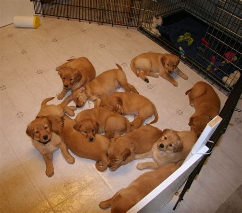 6 in 1 puppy golden retriever puppies x litter 5