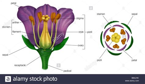 flower diagram flower diagram www pixshark images galleries with