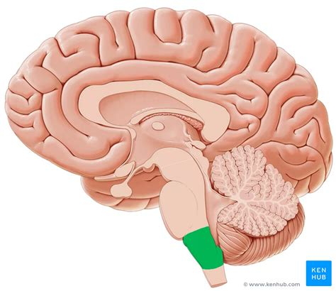 midsagittal section of the brain diagram midsagittal section of the brain anatomy kenhub