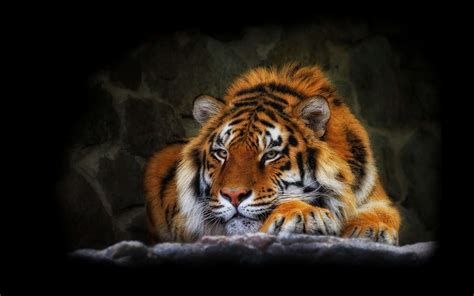 imagenes de tigres cool tigres para tu fondo de pantalla hd im 225 genes taringa