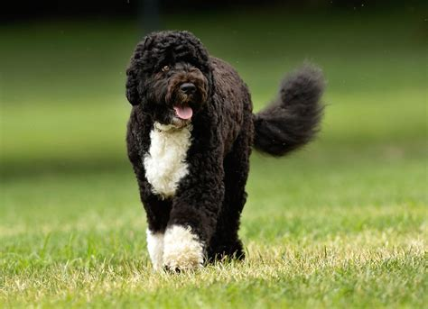 portuguese water dogs portuguese water pwd breed information and images k9rl