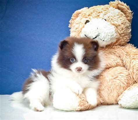 white and brown pomeranian brown and white pomeranian puppy puppies and kittens