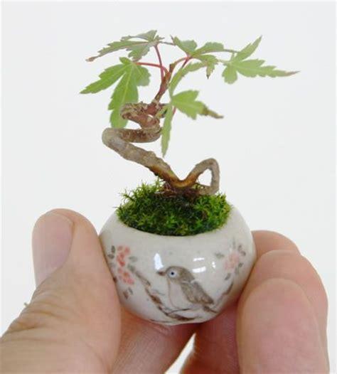 vasi bonsai giapponesi micro bonsai i fantastici bonsai in miniatura dal