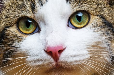 cat eye 7 tips for treating cat eye infections petmd
