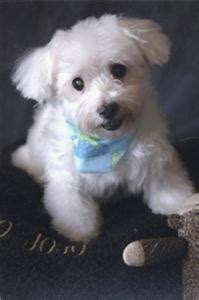 southern comfort maltese rescue chattanoogan cynthia brundage the comforter