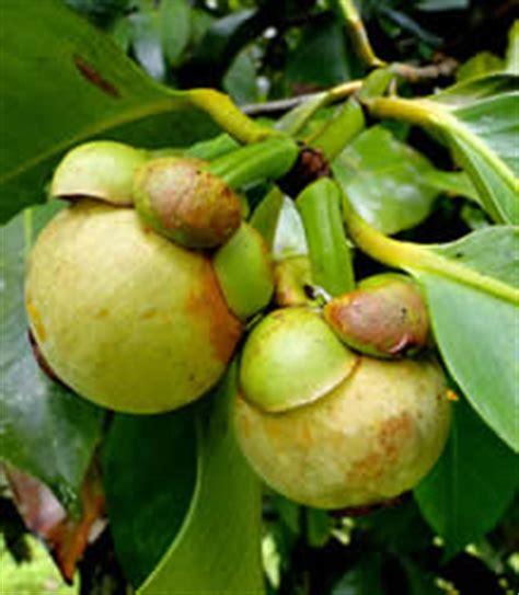 Chronic Juice Mangogo fruit warehouse mangosteen garcinia mangostana