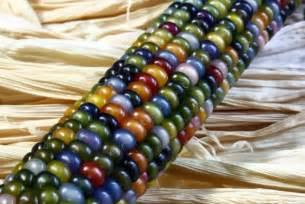 ornamental corn glass gem seeds garden hoard hand