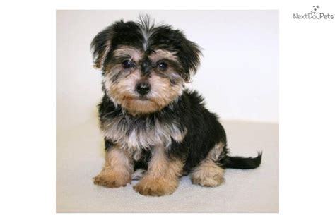 havanese yorkie puppies meet a terrier yorkie puppy for sale for 350 our
