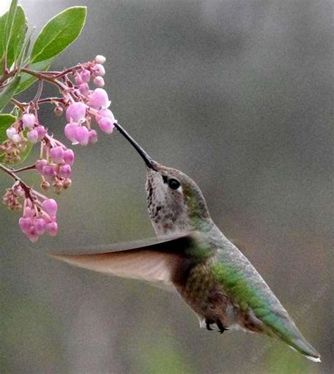 how to create a california hummingbird garden with native
