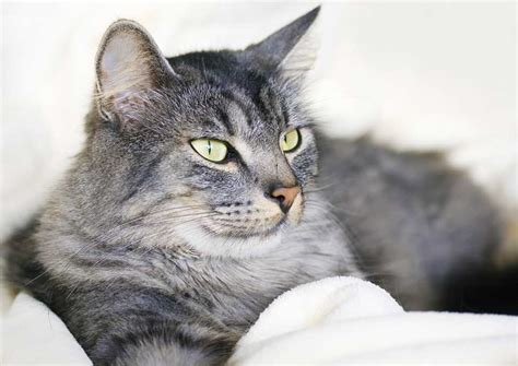 care and comfort veterinary hospital senior cats need extra care and comfort blue cross