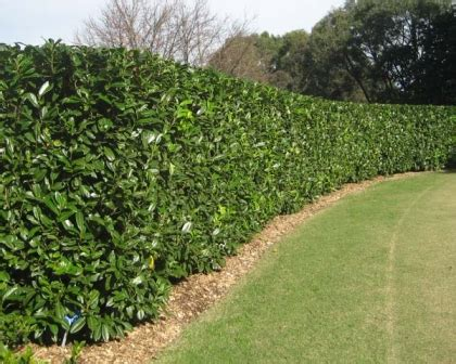prunus laurocerasus rotundifolia hedge 5 gardensonline prunus laurocerasus