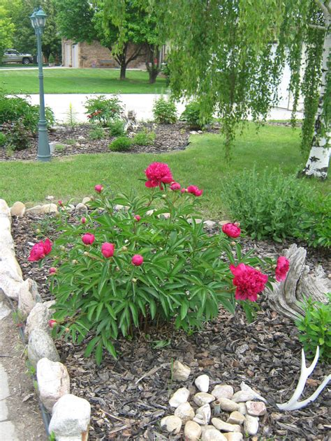 My And A Flower here are pics of my flower beds landscape peony
