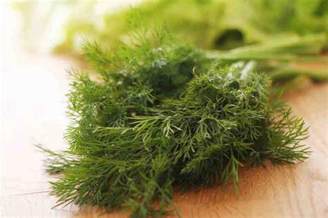 aneto in cucina aneto l erba aromatica amica dello stomaco e sonno