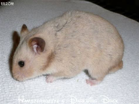 hamster colors 17 best images about hamster colors on name