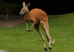 best black friday deals ever kangaroo chase sends two golfers running for their lives bgr
