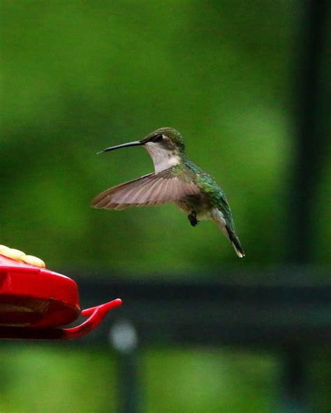 where are the hummingbirds hackettstown nj